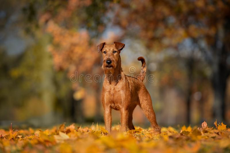 Irish terrier dog posing outdoors in autumn. Irish terrier dog outdoors in autumn royalty free stock image