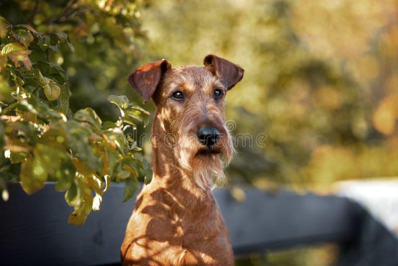 Irish terrier dog portrait outdoors in summer. Irish terrier dog outdoors in summer stock photography