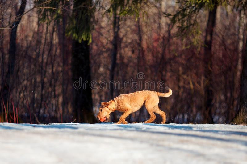 Irish Terrier walks in the snow with a ball. Red Irish Terrier walks in the snow with a ball stock photography