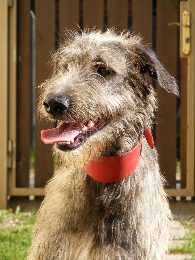 Download Irish wolfhound stock image. Image of down, wolf, dark - 25809707