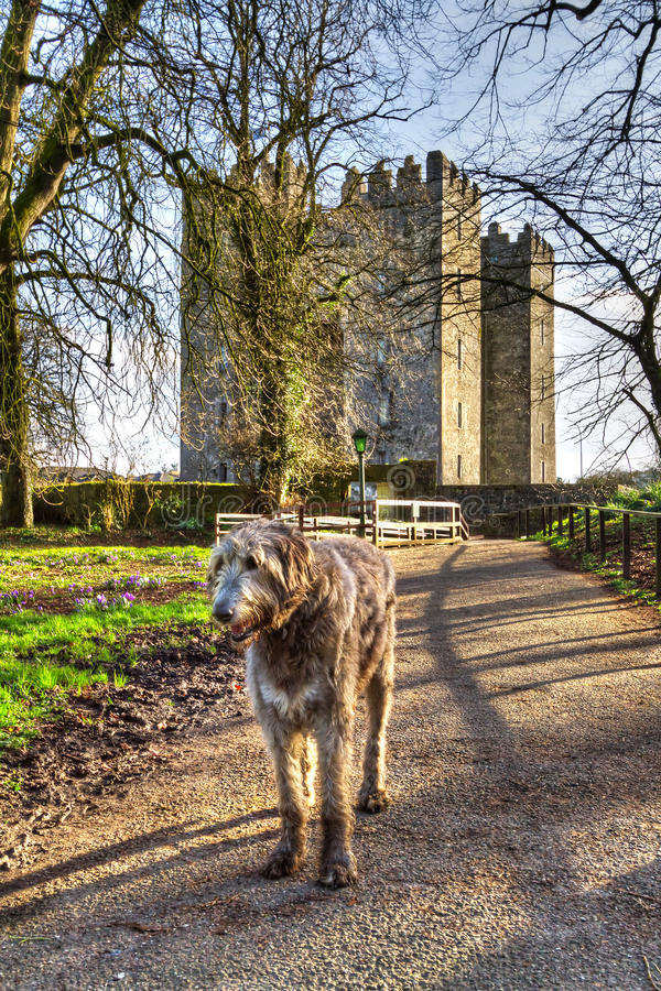 Download Irish Wolfhound At Bunratty Castle Stock Photo - Image of fort, landscape: 23535622