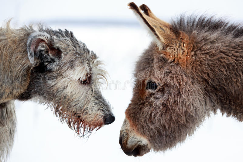 Download Dog and donkey stock image. Image of hound, wolfhound - 30037535