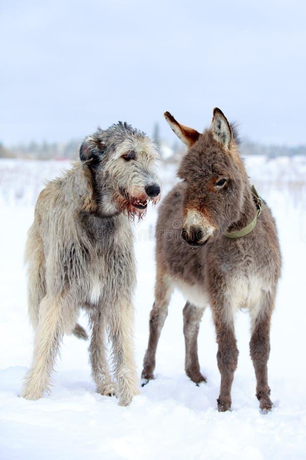 Download Dog and donkey stock image. Image of donkey, wolfhound - 30037723