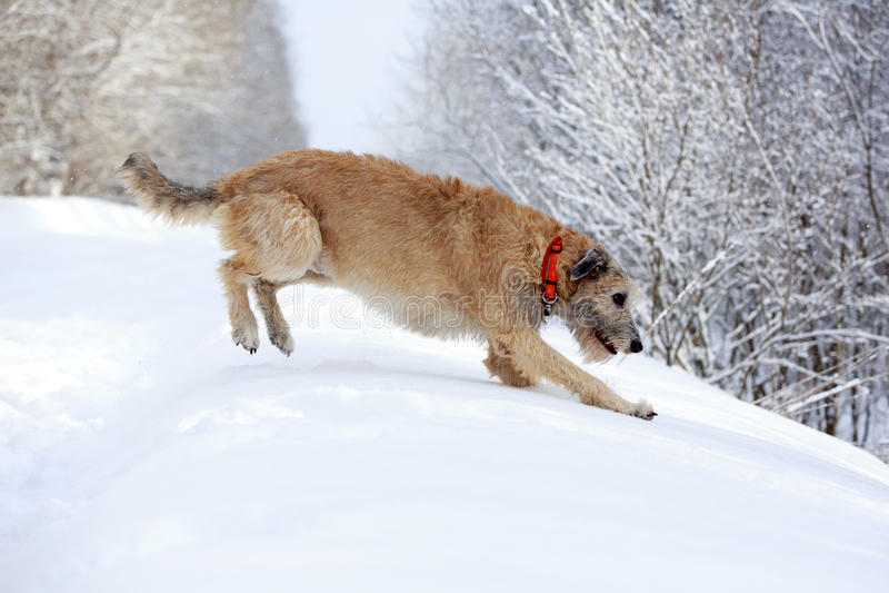 Download Irish wolfhound dog stock photo. Image of forest, wolf - 30168726