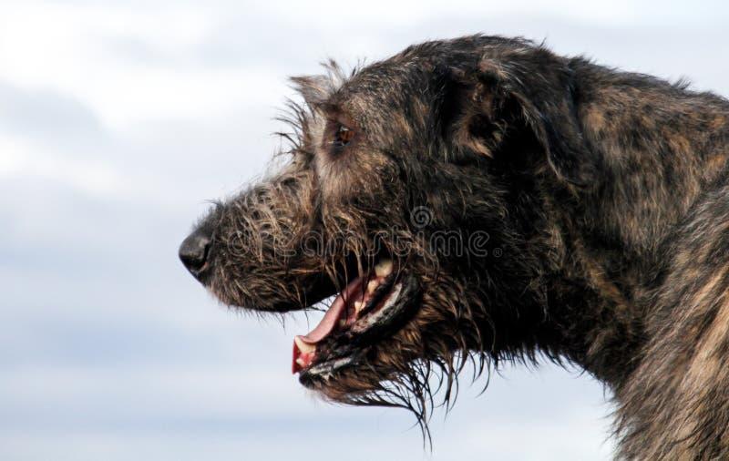Irish Wolfhound head stock image