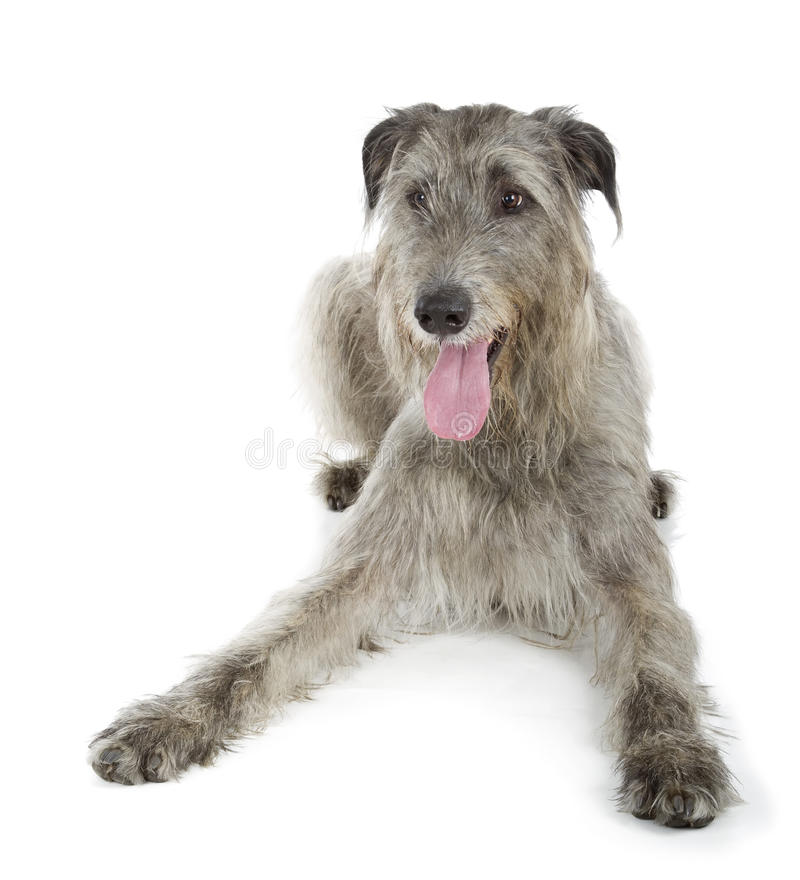 Download Irish Wolfhound Royalty Free Stock Photography - Image: 33839237