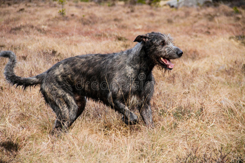Irish Wolfhound in the meadows royalty free stock photos