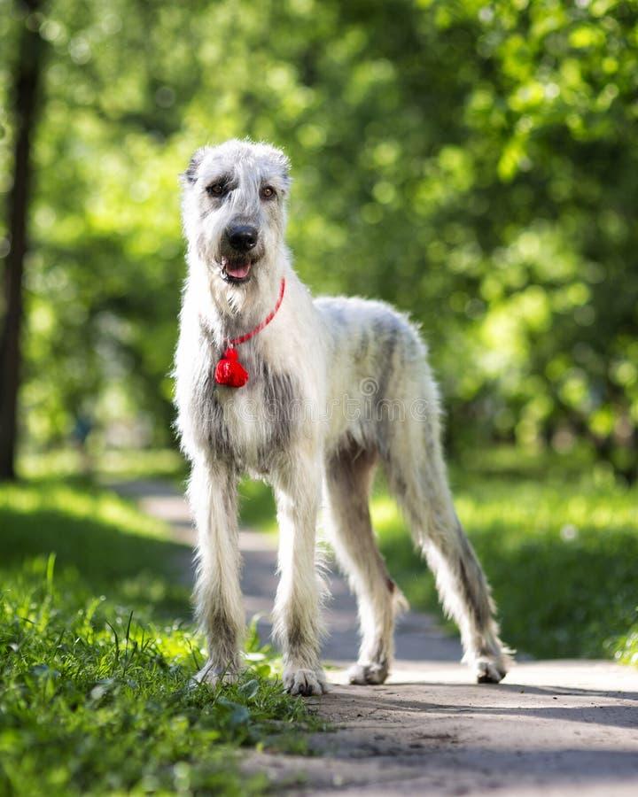 Irish Wolfhound portrait in summer park stock photos