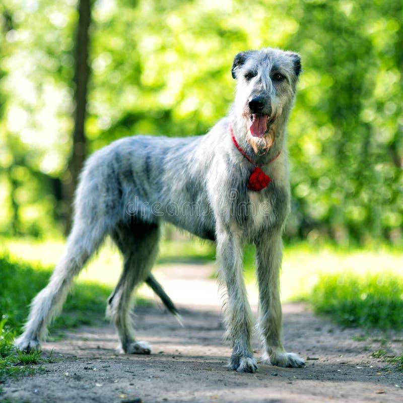 Irish Wolfhound portrait in summer park stock image