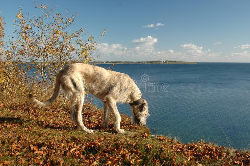 Irish Wolfhound at a slope. Irish Wolfhound youngster stands at the edge of a slope, in a forest with autumn colors, and the sea as background royalty free stock images