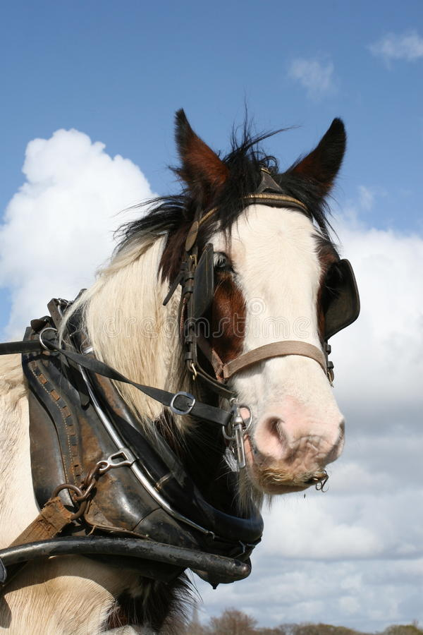 Download Irish Working Horse Portrait Stock Photography - Image: 9387172