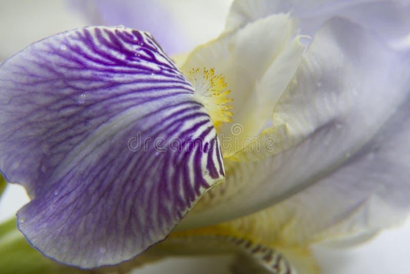 Iriskronblad stänger sig upp royaltyfri foto