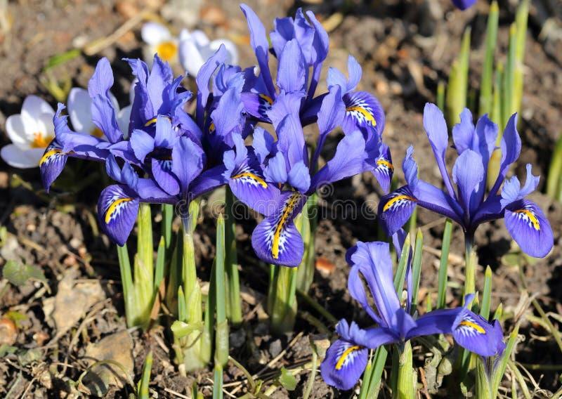 Irispumila royalty-vrije stock afbeelding