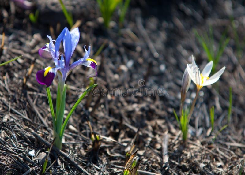 Irispumila royalty-vrije stock afbeeldingen