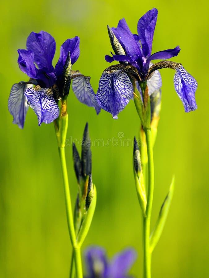 Irissen (Iris) royalty-vrije stock foto