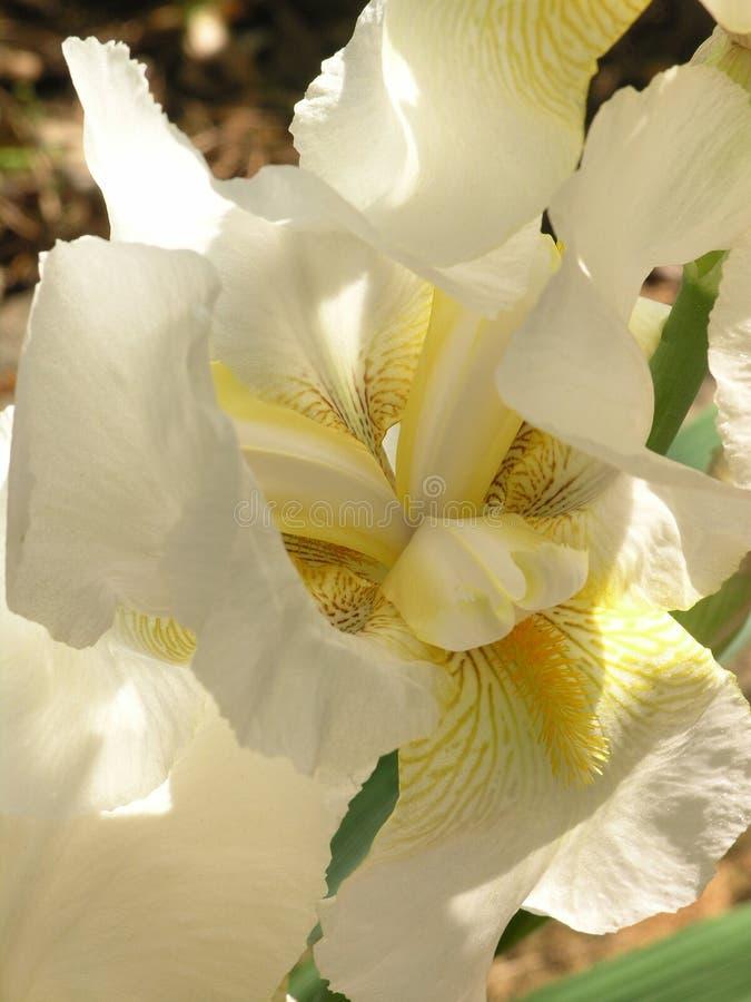 iriswhite royaltyfria foton