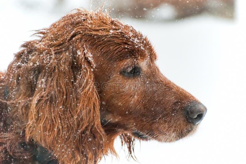 Irländare i snön fotografering för bildbyråer