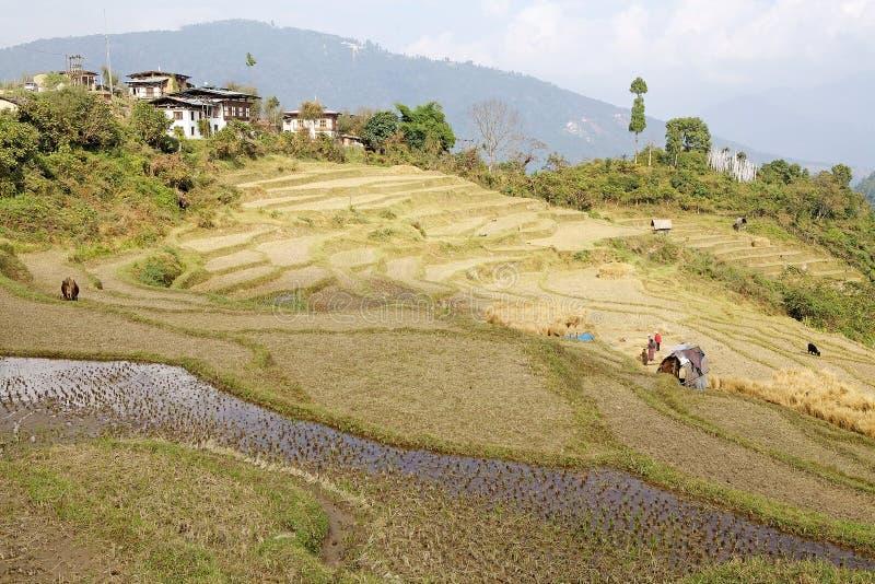 Irländarefält, Sopsokha, Bhutan royaltyfri bild