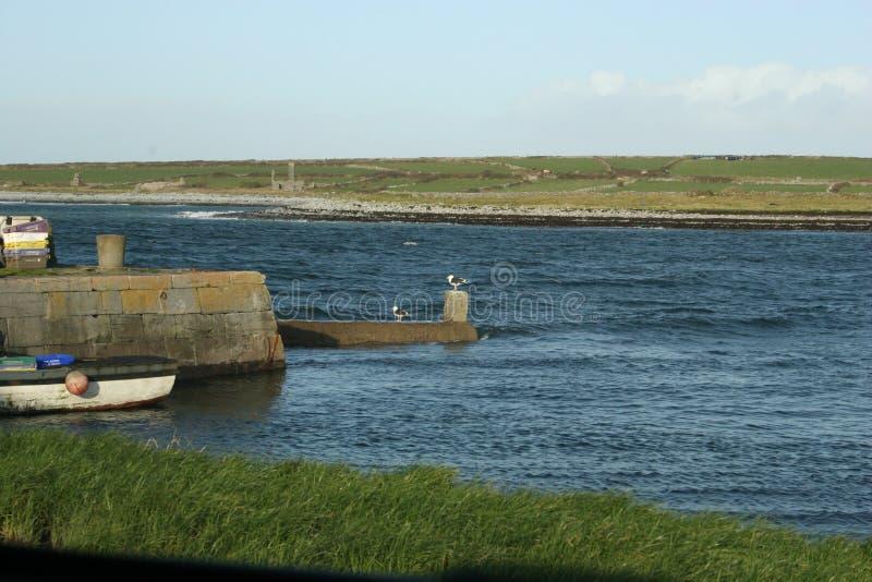 irländsk ensam seagull royaltyfri fotografi