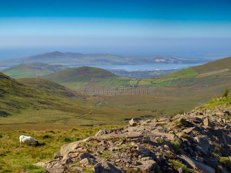 Irländsk får- och Dinglestad arkivbilder