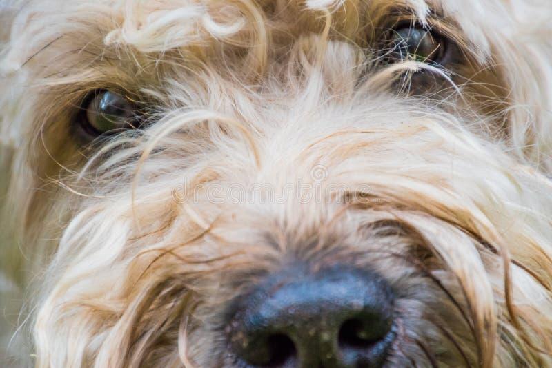 Irländsk mjuk bestruken wheaten terriervit och brunt pälsfodrar hunden royaltyfri foto
