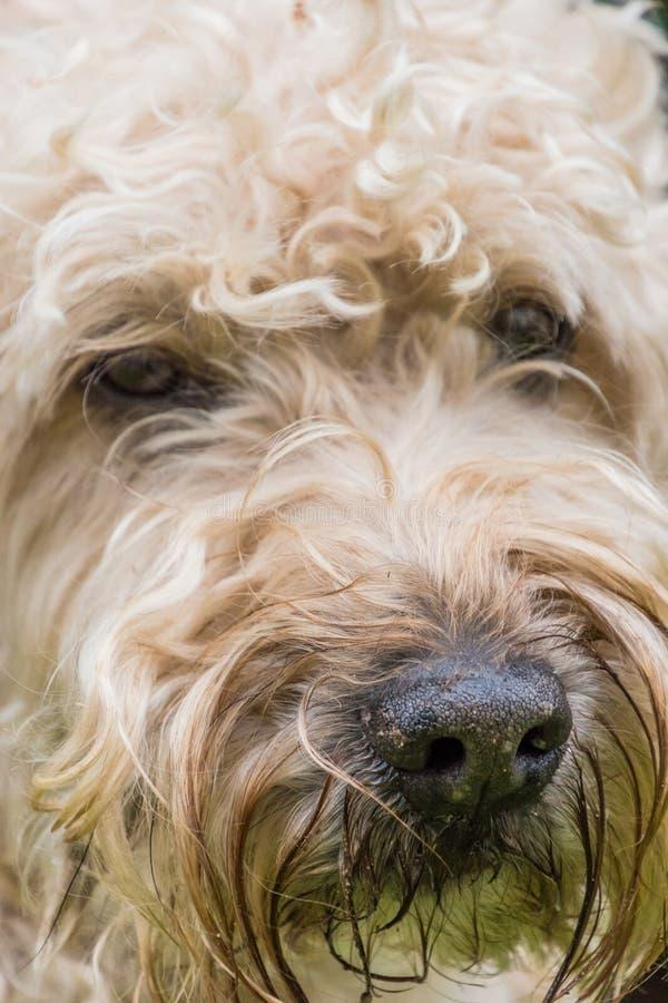 Irländsk mjuk bestruken wheaten terriervit och brunt pälsfodrar hundportra arkivbild