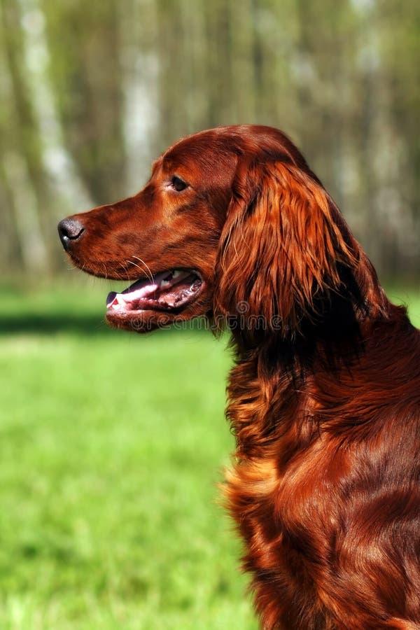 Irländsk setter för härlig hund royaltyfria bilder