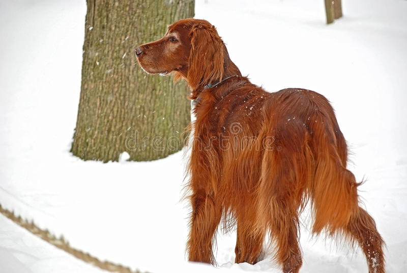 Irländsk Setter i snow fotografering för bildbyråer