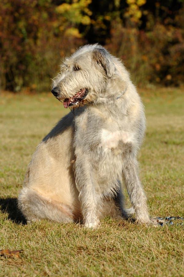 irländsk ståendewolfhound arkivbilder