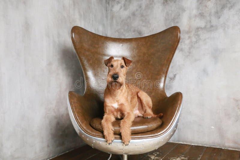 irländsk terrier royaltyfri foto