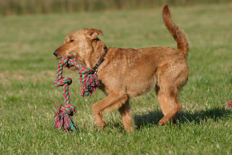 irländsk terrier royaltyfria bilder