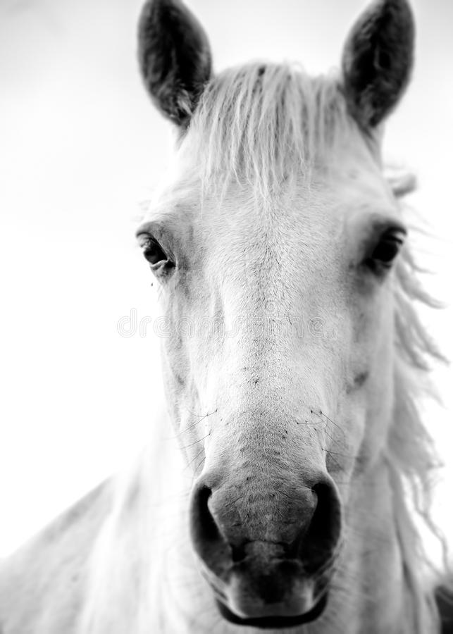 Irländsk vit häst arkivbild