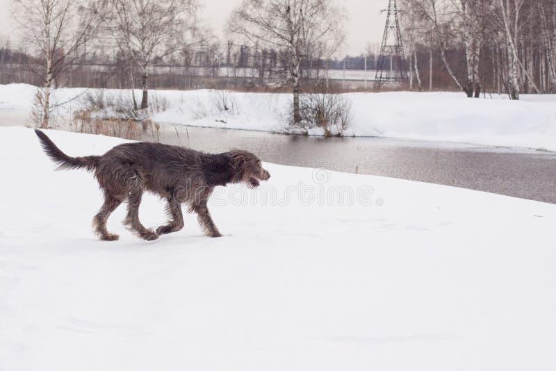 irländsk wolfhound royaltyfri fotografi