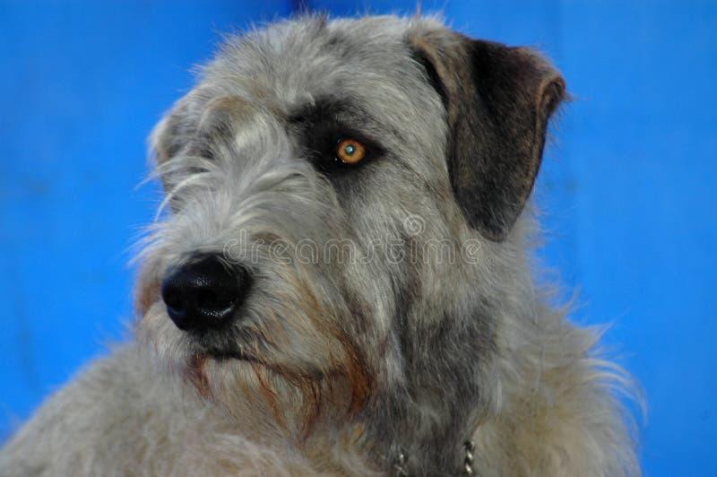 irländsk wolfhound royaltyfria bilder