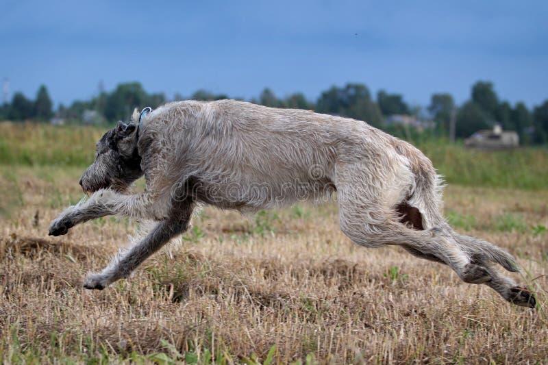 Irländsk wolfhound fotografering för bildbyråer