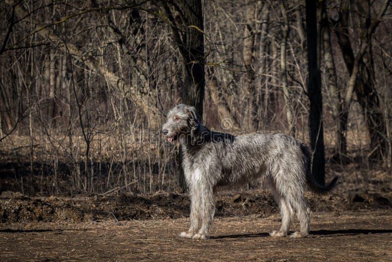 irländsk wolfhound arkivbilder