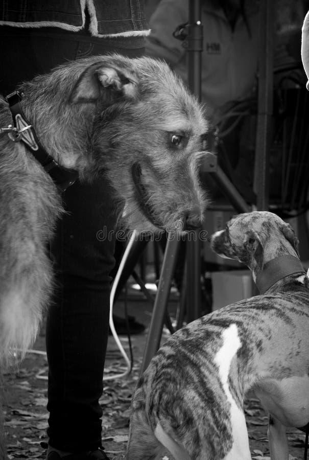 irländsk wolfhound royaltyfri bild