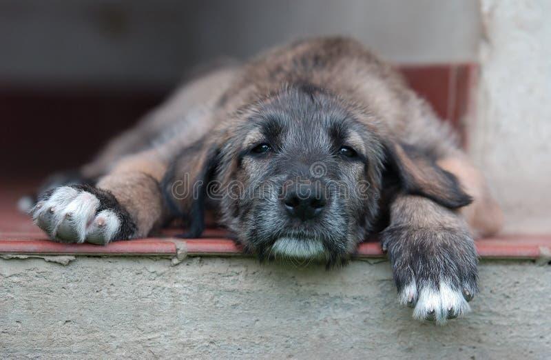 irländsk wolfhound arkivbild