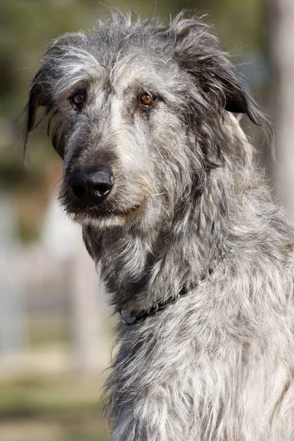 Irländsk Wolfhoundstående arkivbilder