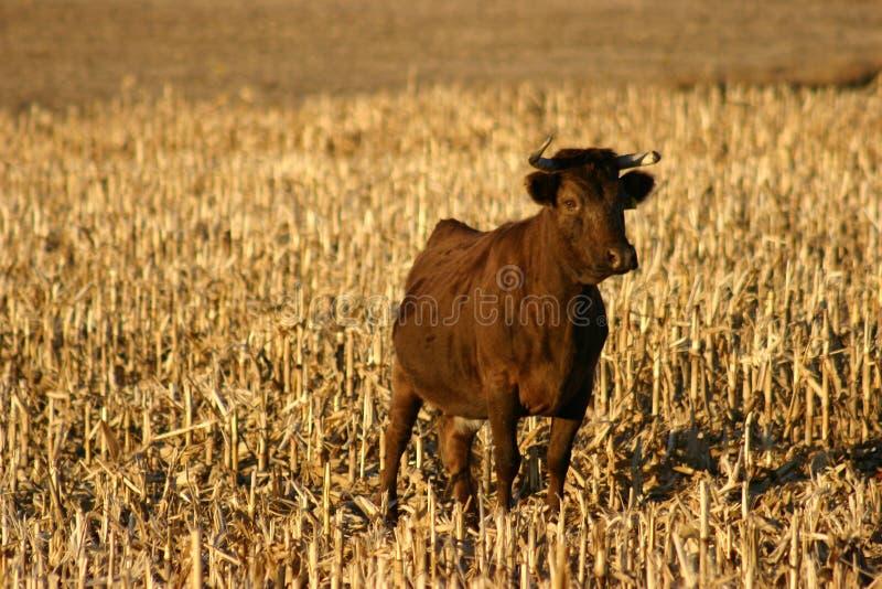 Irlandés Dexter Cow imagen de archivo