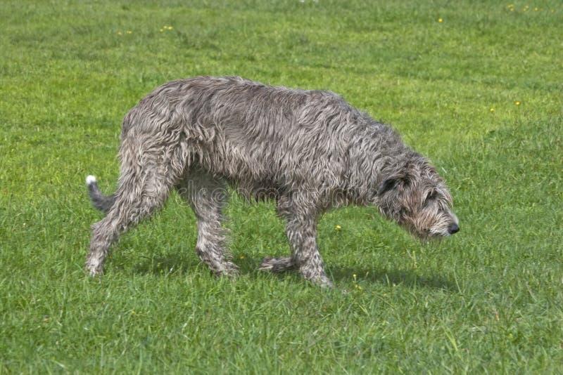 Irlandés, Wolfhound, imágenes de archivo libres de regalías
