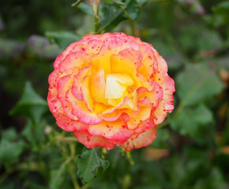 Irlanda de Rose In Rose Garden Tralee fotografia de stock royalty free