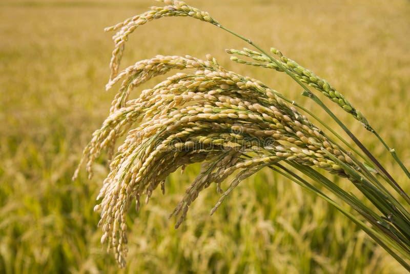 irlandczyków ryż zdjęcie royalty free