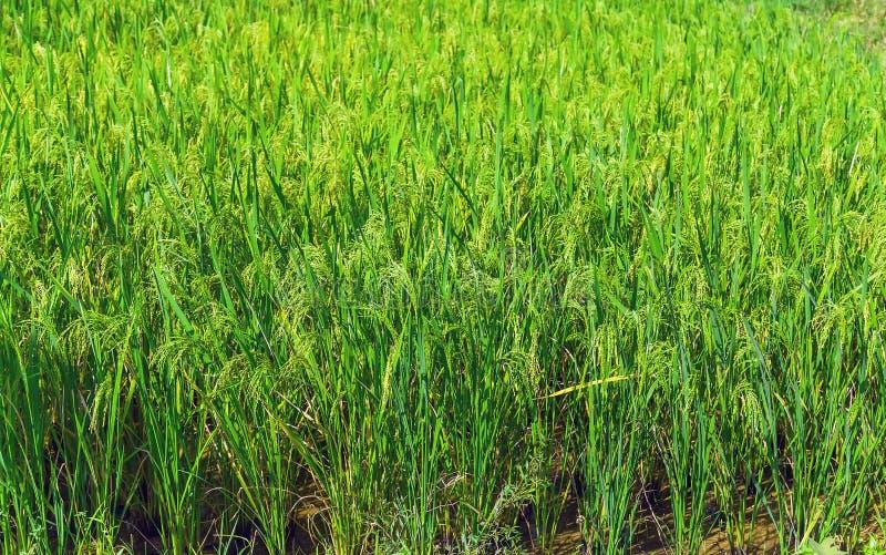 irlandczyków ryż tła zieleń zdjęcia royalty free