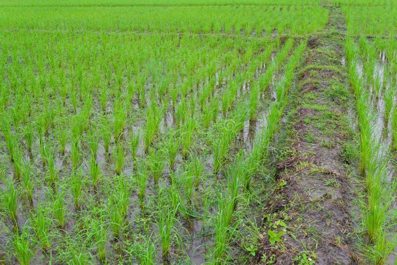 Irlandczyków ryż ziemia uprawna zdjęcie stock