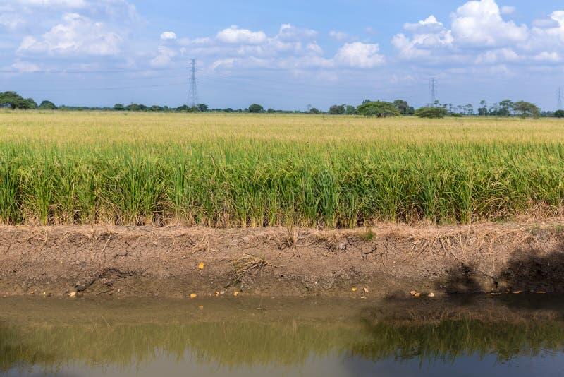 Irlandczyk?w ry? ja?minowy pole z niebieskim niebem Młody ucho ryż w zielonym irlandczyka polu zdjęcie stock