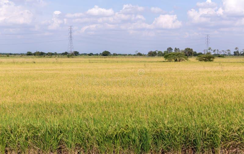Irlandczyk?w ry? ja?minowy pole z niebieskim niebem Młody ucho ryż w zielonym irlandczyka polu zdjęcia stock