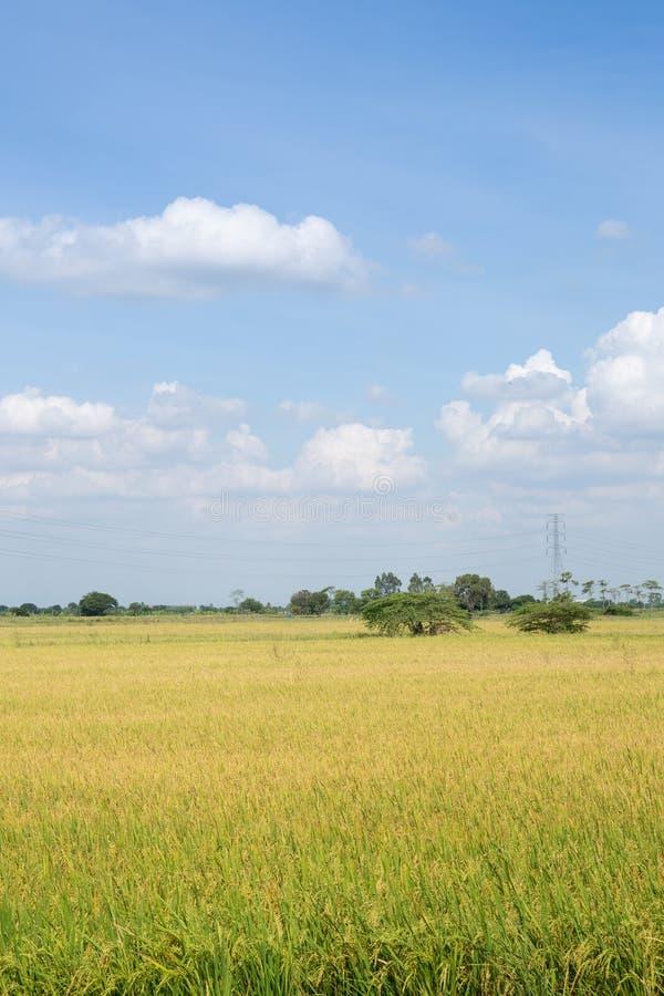 Irlandczyk?w ry? ja?minowy pole z niebieskim niebem Młody ucho ryż w zielonym irlandczyka polu fotografia royalty free