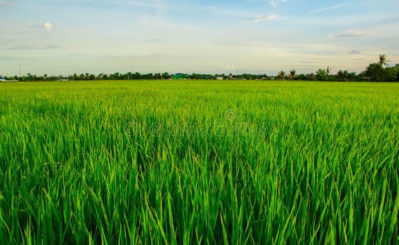 Irlandczyka Rice pole zdjęcie royalty free