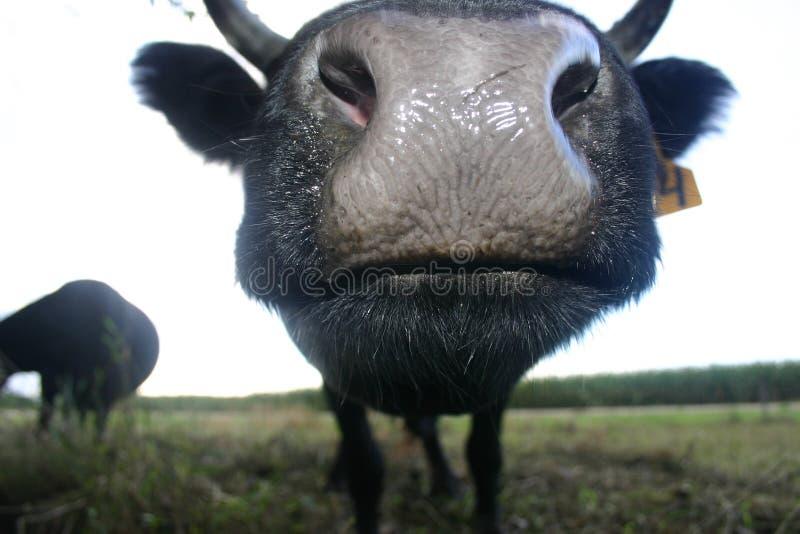 Irlandese Dexter Kiss fotografia stock